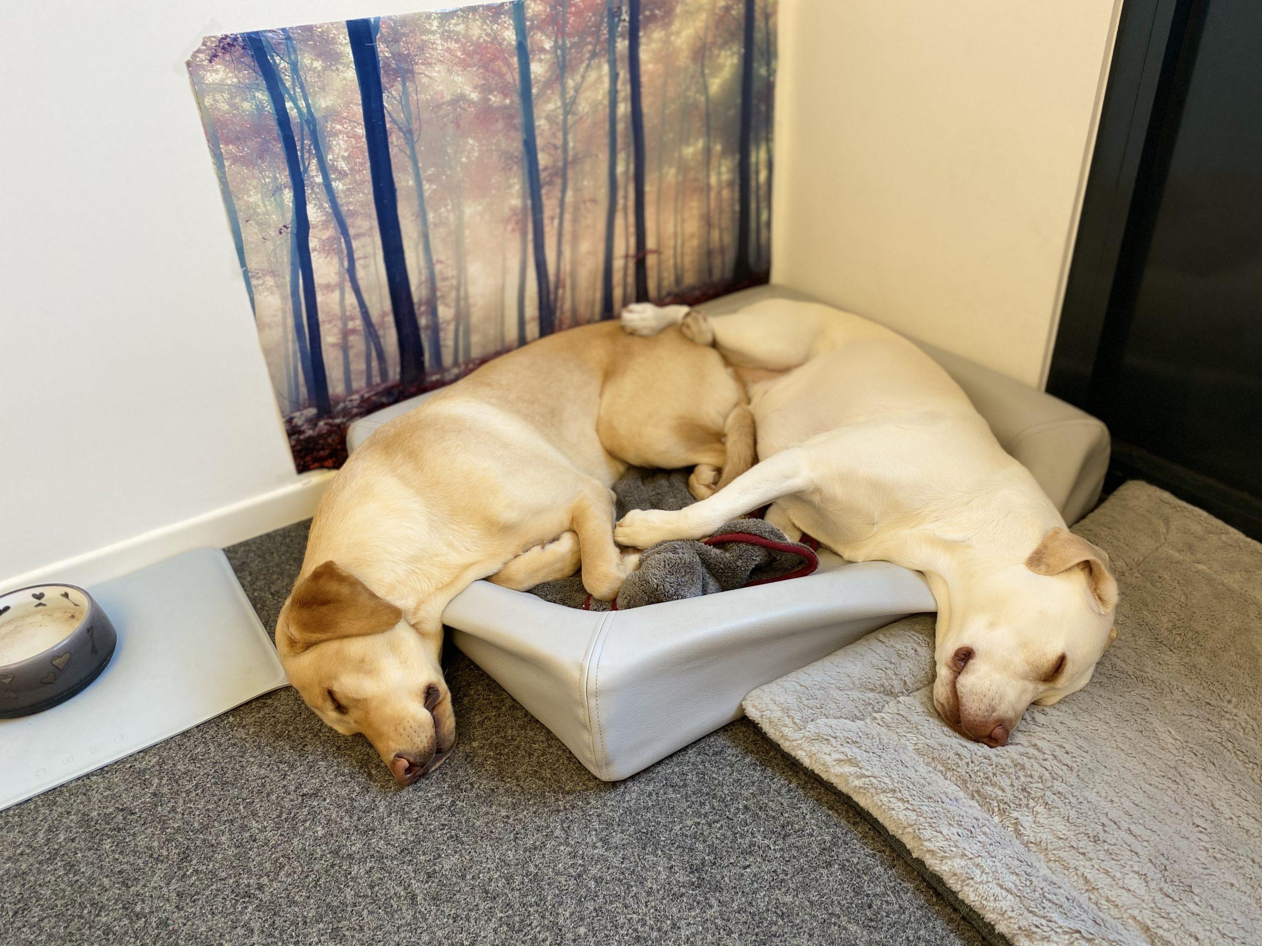Bürohunde Limmo und Capri schlafen, PPA Gesellschaft für Finanzanalyse und Benchmarks mbH