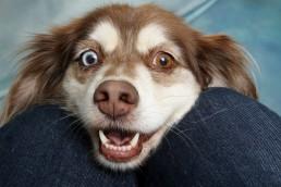 Hund aufgeregt und atemlos als Symbol. Jetzt schnell abwerben! Fach- und Führungskräfte abwerben, jetzt!